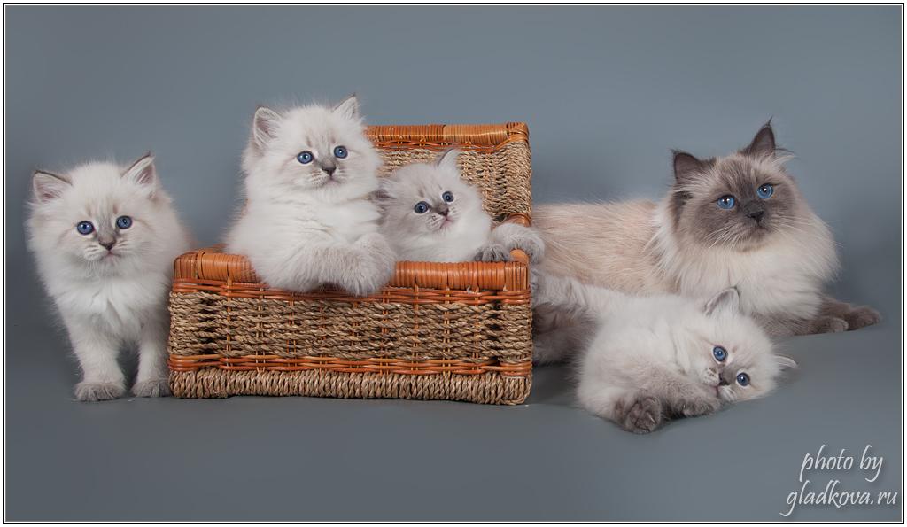 Невская маскарадная кошка Хеппи с котятами