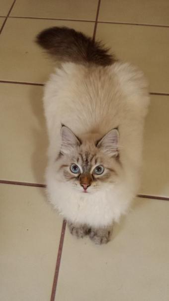 Невский маскарадный котенок Зенит, 6 месяцев