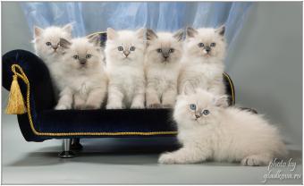 невские маскарадные котята продажа