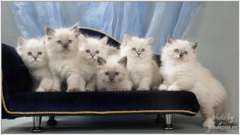 сибирские котят купить