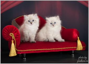 Littermates Neva masquerade kittens
